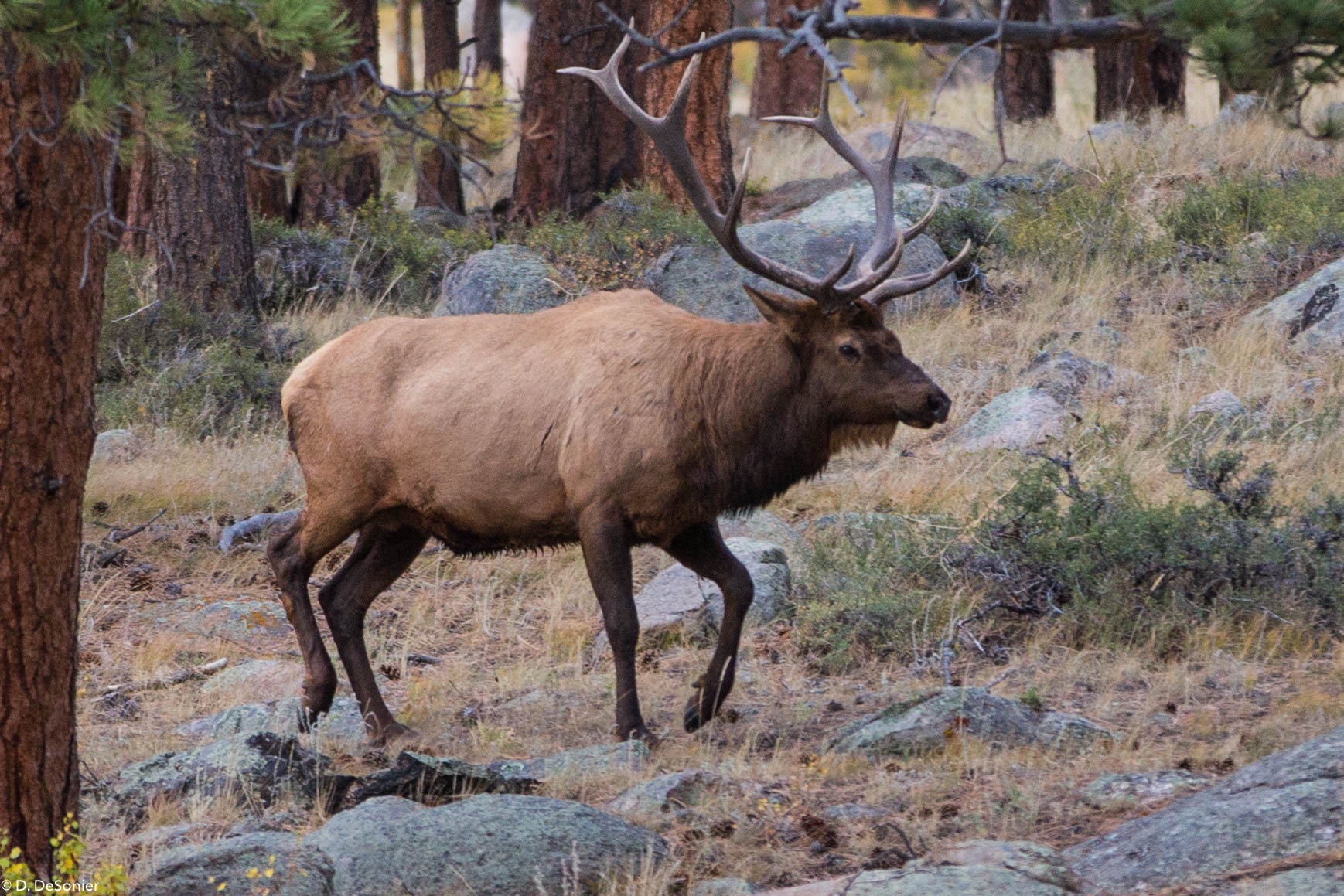 In Rocky Mtn Natl Park; got to hear these guys bugling.