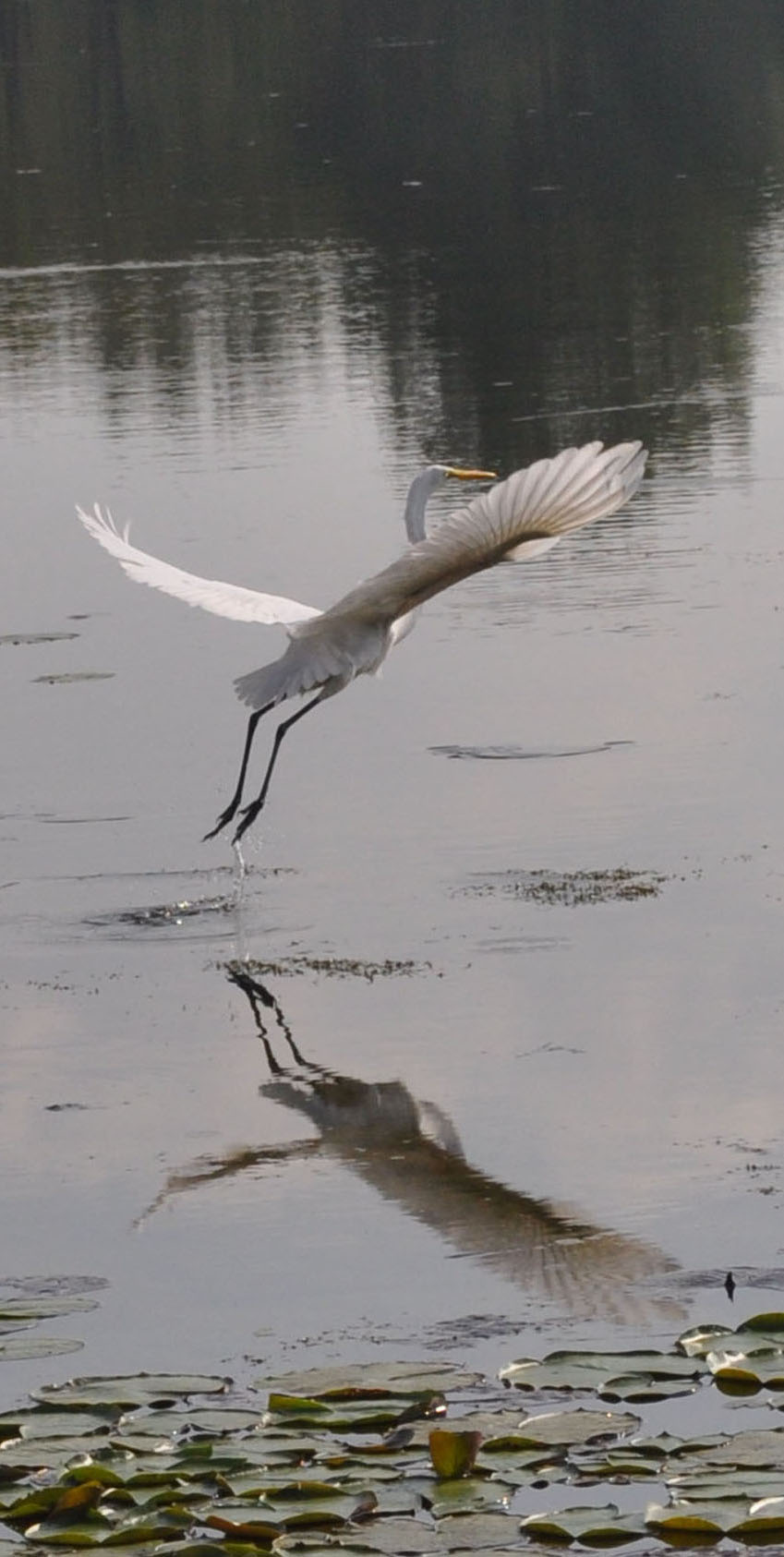 white heron in flight 2.jpg