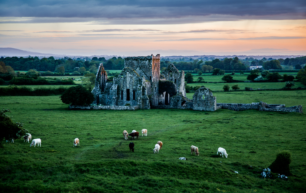 Cows at Hore Abbey, Ireland, Paul Thorsen. All rights reserved.