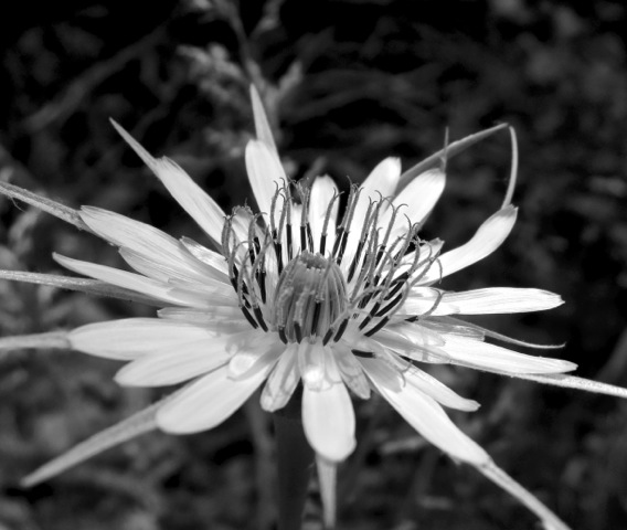 Flowers in Black and White 1 by Diane Hammer.jpeg