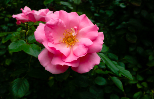 Rich-Mainau Rose, Bodensee, Germany, by Regine Bohacek. All rights reserved.