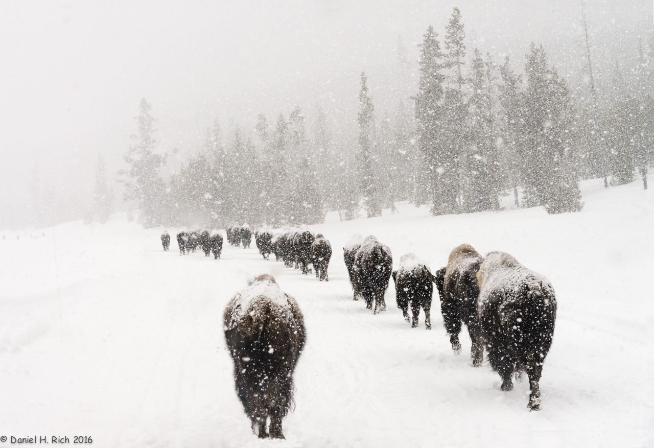 In a Bleak Winter Snowfall, Bison Look for Grass, by Daniel H. Rich. All rights reserved.
