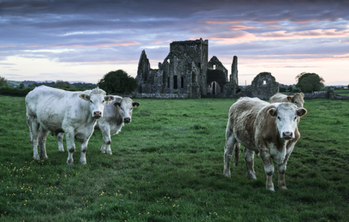 Cows at Hore Abbey, Cashel, Ireland  by Paul Thoresen. All Rights reserved.      paulthoresenphotoart.com