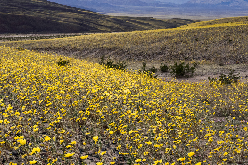 Death Valley Super Bloom, by Margaret Peterson.  All Rights Reserved.    www.margaretpeterson.smugmug.com