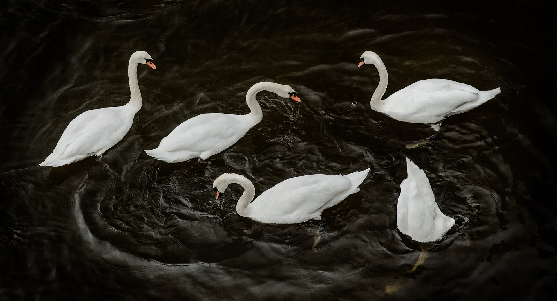 Circling Swans, by Christopher Priebe. All rights reserved.