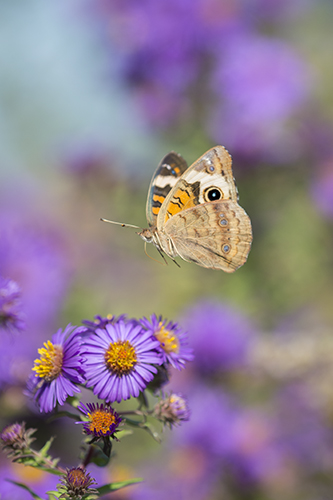Common Buckeye, Pope Farm Conservancy, by Ann Thering. All rights reserved.