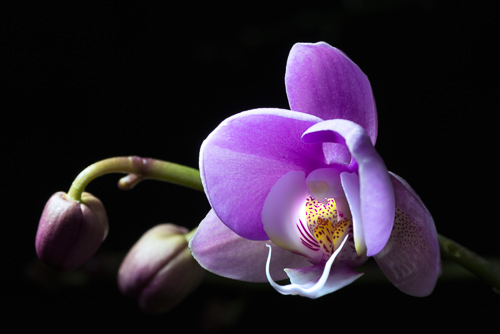 Orchid, by Tim Mulcahy. All rights reserved.