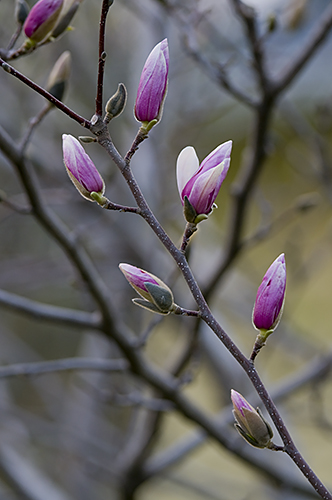 First Magnolias, by Bruce Fritz. All rights reserved.