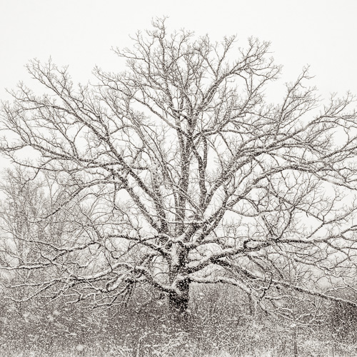 Blizzard Oak, by Michael Knapstein. All rights reserved.