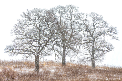 Oak Trio by Michael R. Anderson. All rights reserved.