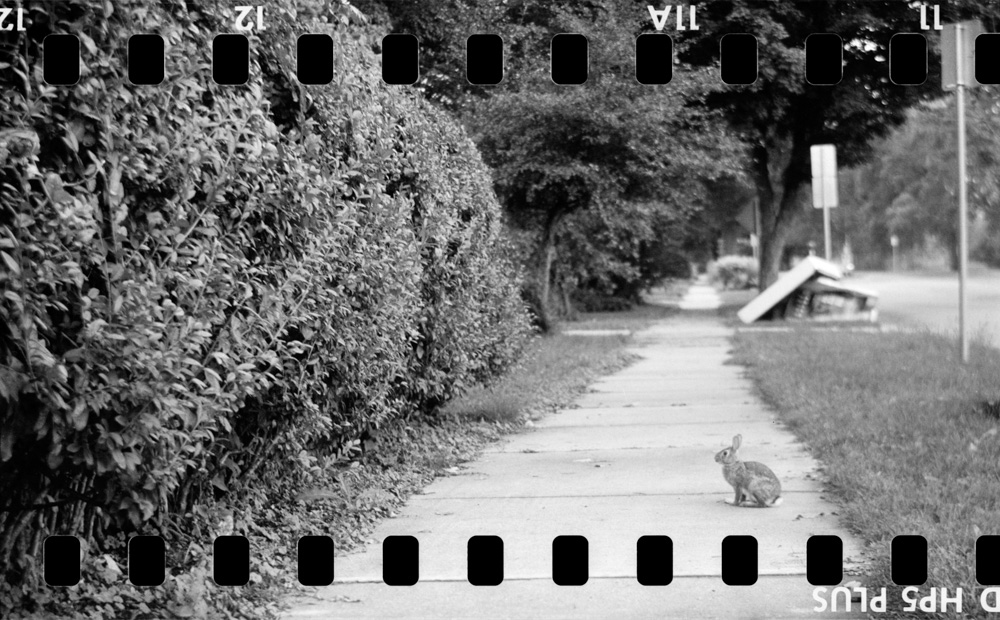 Sidewalk Rabbit  35mm Ilford HP5 Plus rolled onto 120 film spool. Shot with Agfa Isolette II folding camera (made ca. 1952), developed in Kodak D76. © 2017 Bill Guetschow.