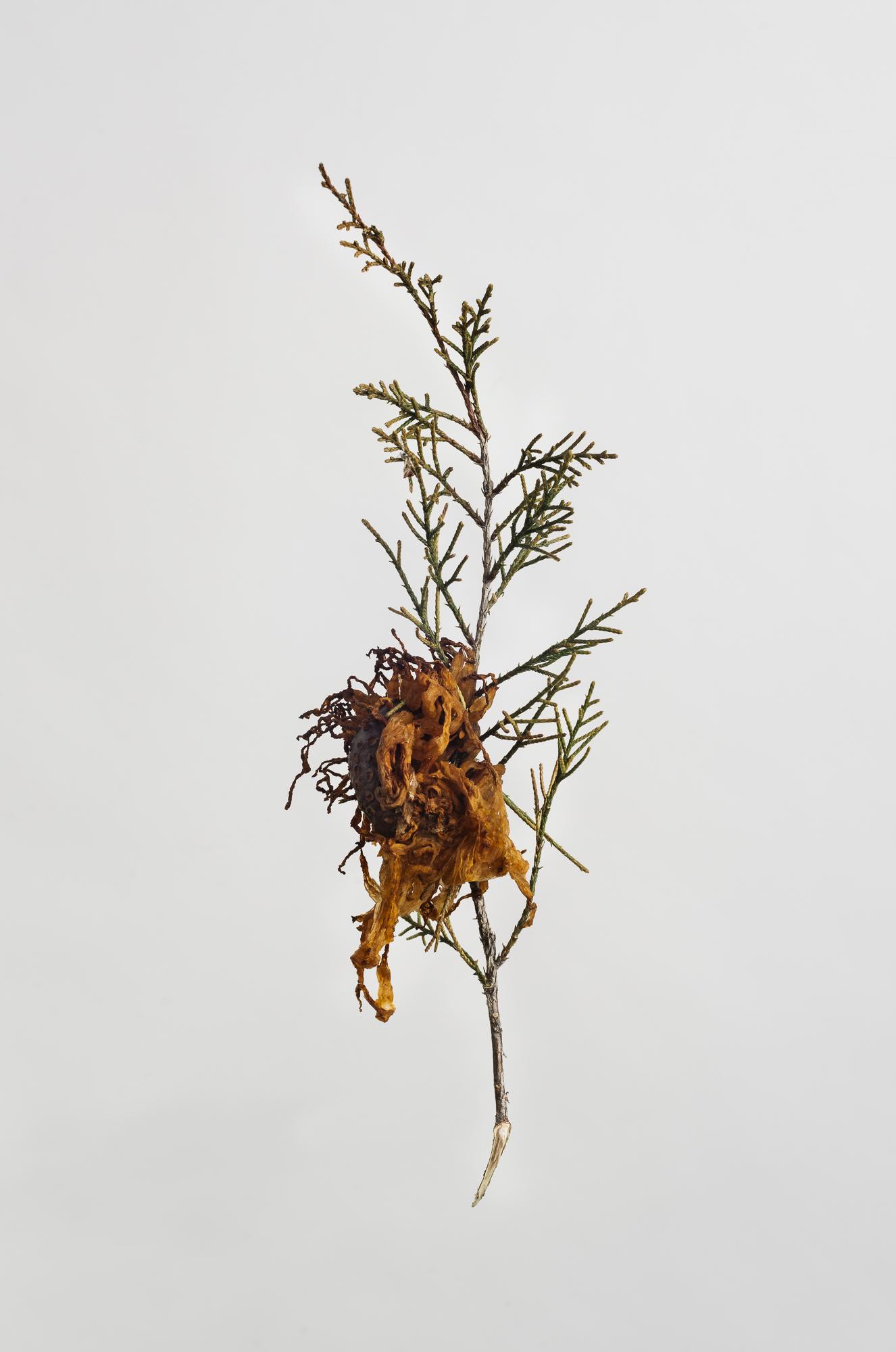 Gymnosporangium juniperi-virginianae - Ceder Apple Rust