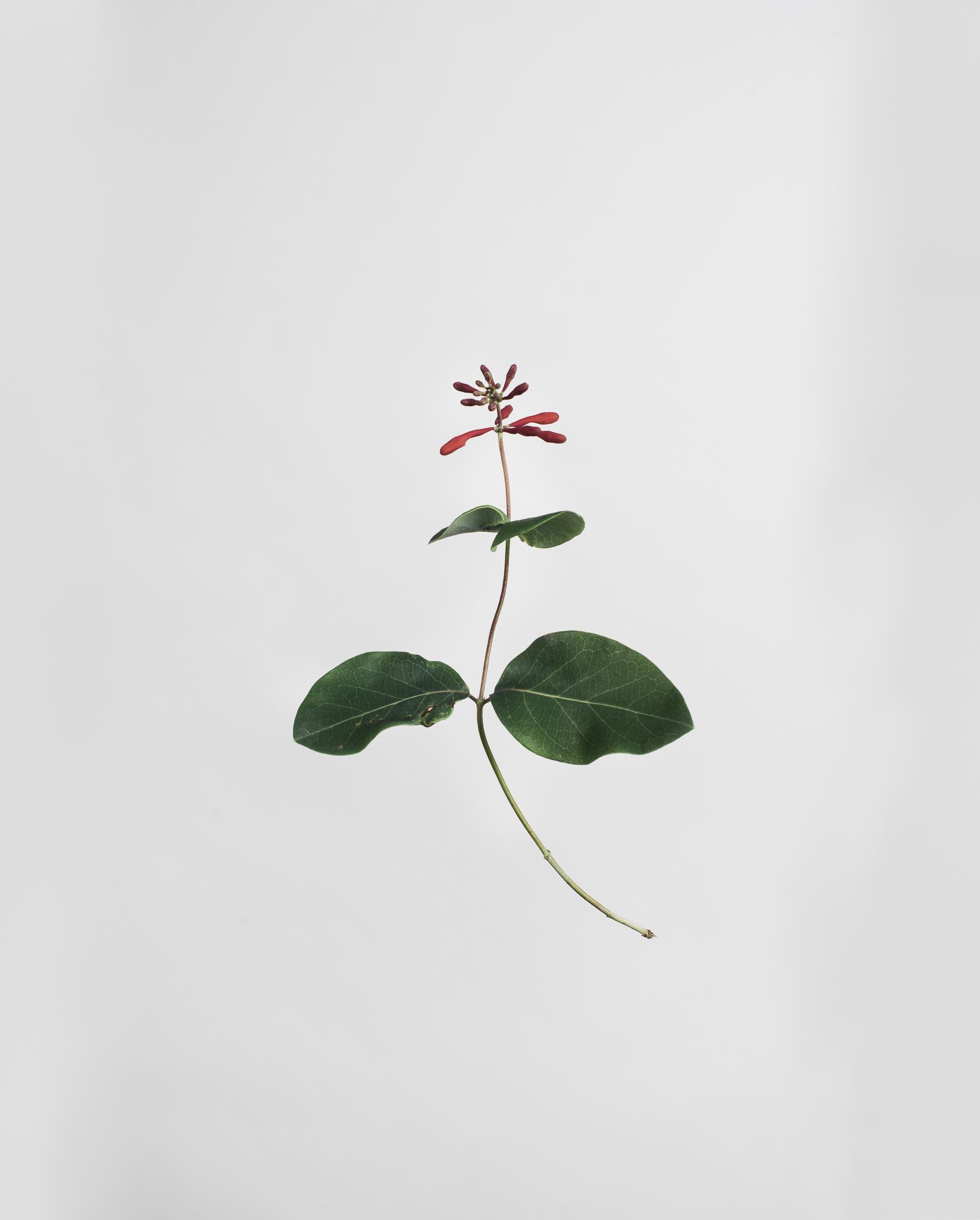 Lonicera hispidula - Pink Honeysuckle