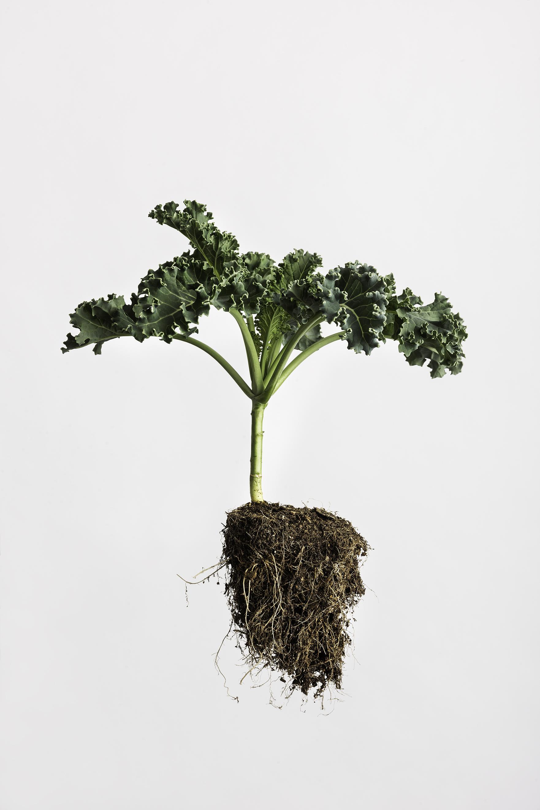 Brassica oleracea - Curly Kale