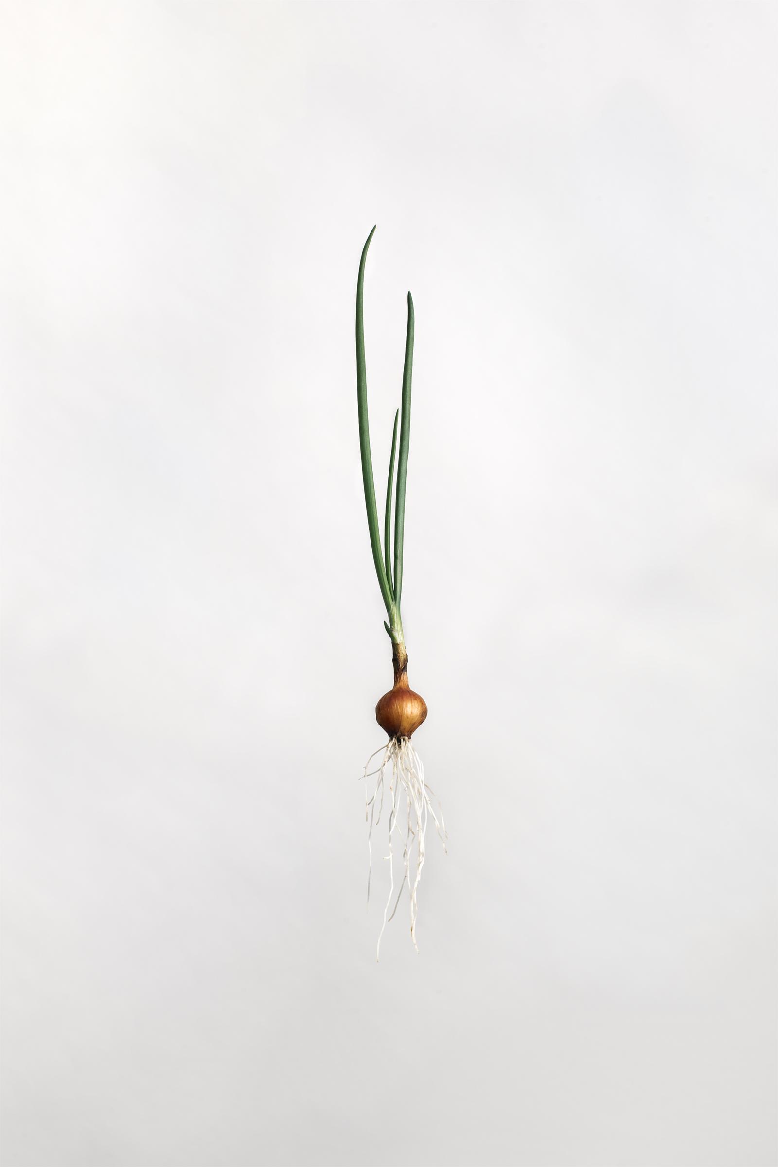 Allium cepa - Yellow Onion