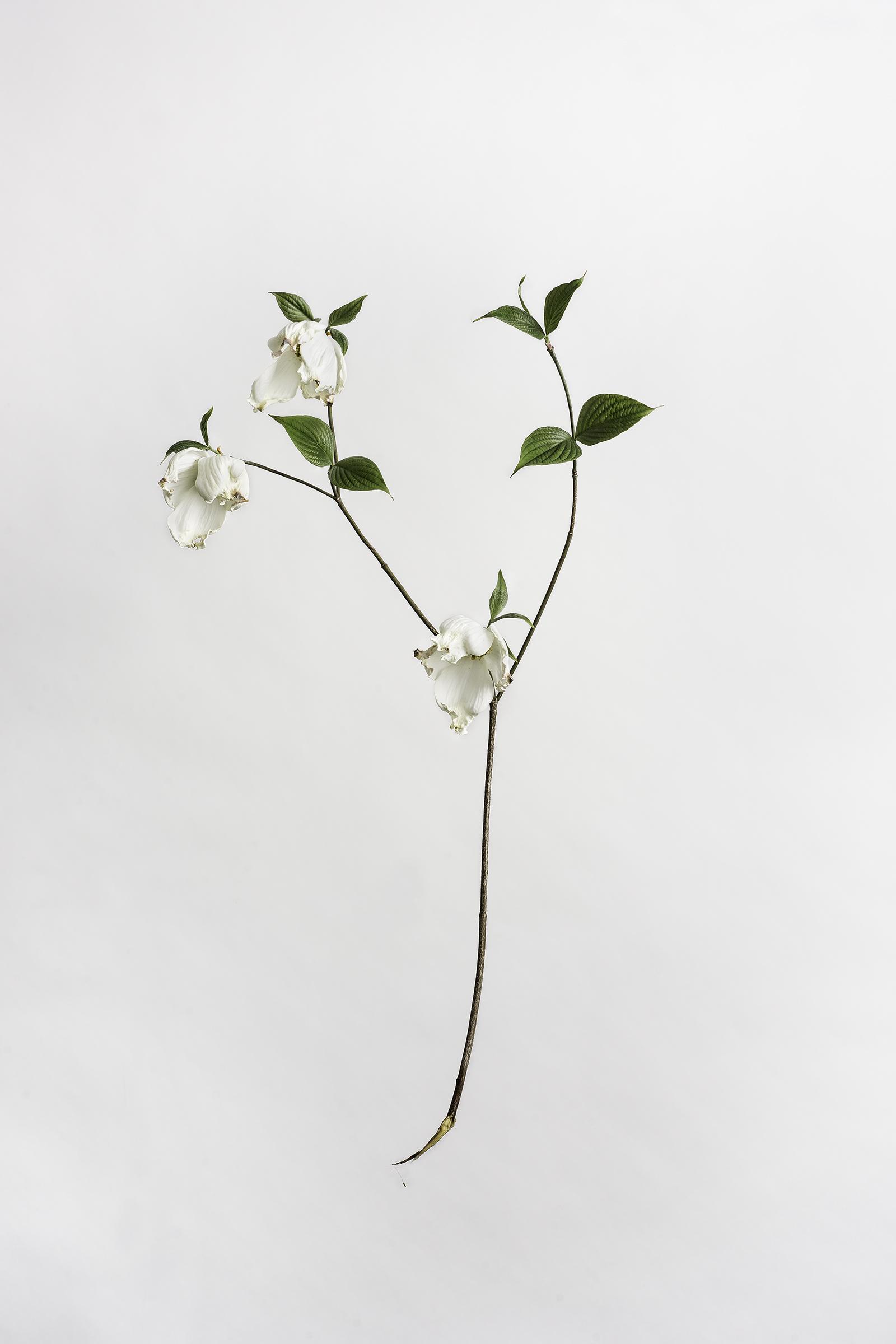 Cornus florida - Flowering Dogwood Tree