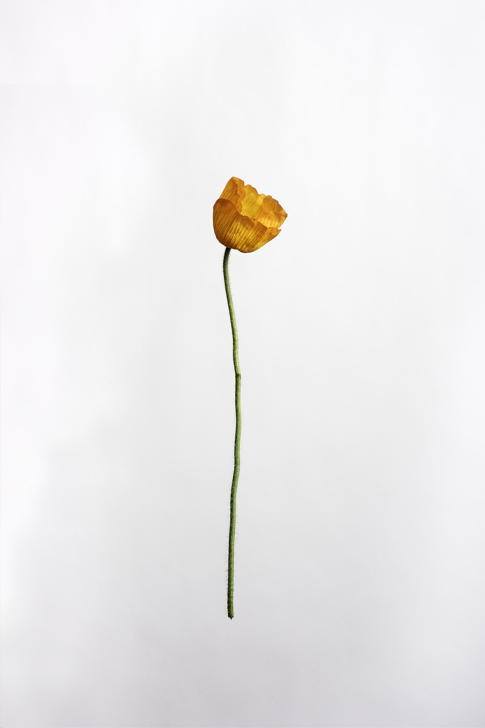 Papaver nudicaule - Iceland Poppy