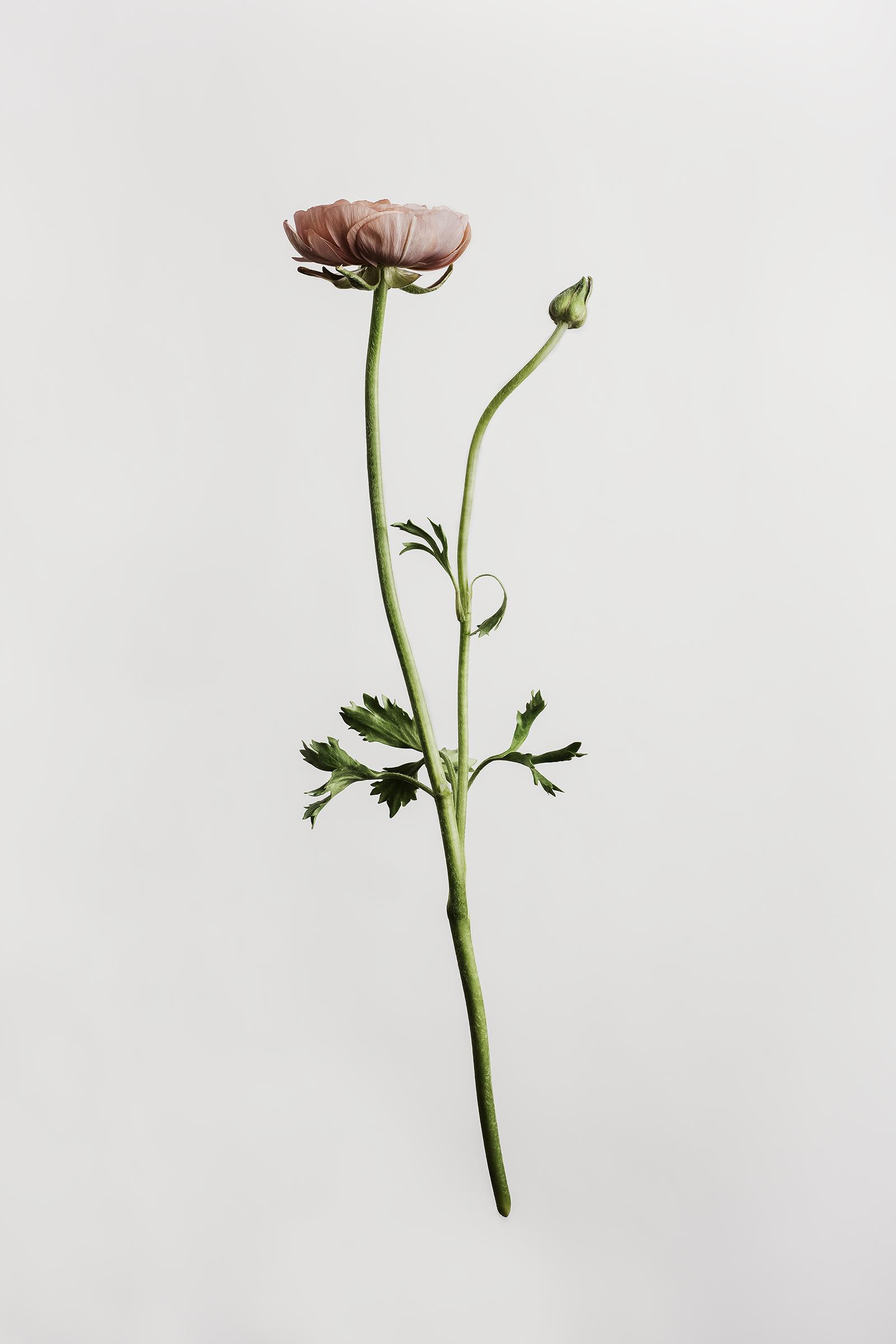 Ranunculus - Buttercup