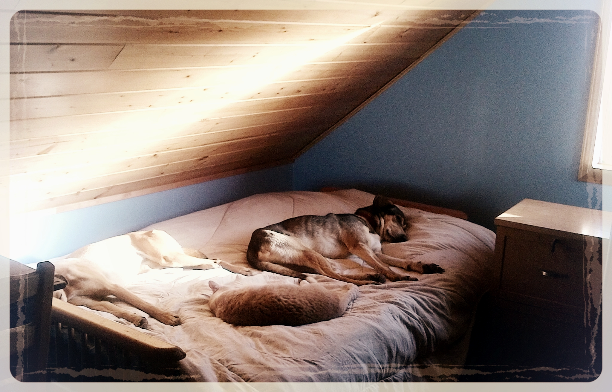 Sled dogs are on-the-bed dogs. Cat optional.
