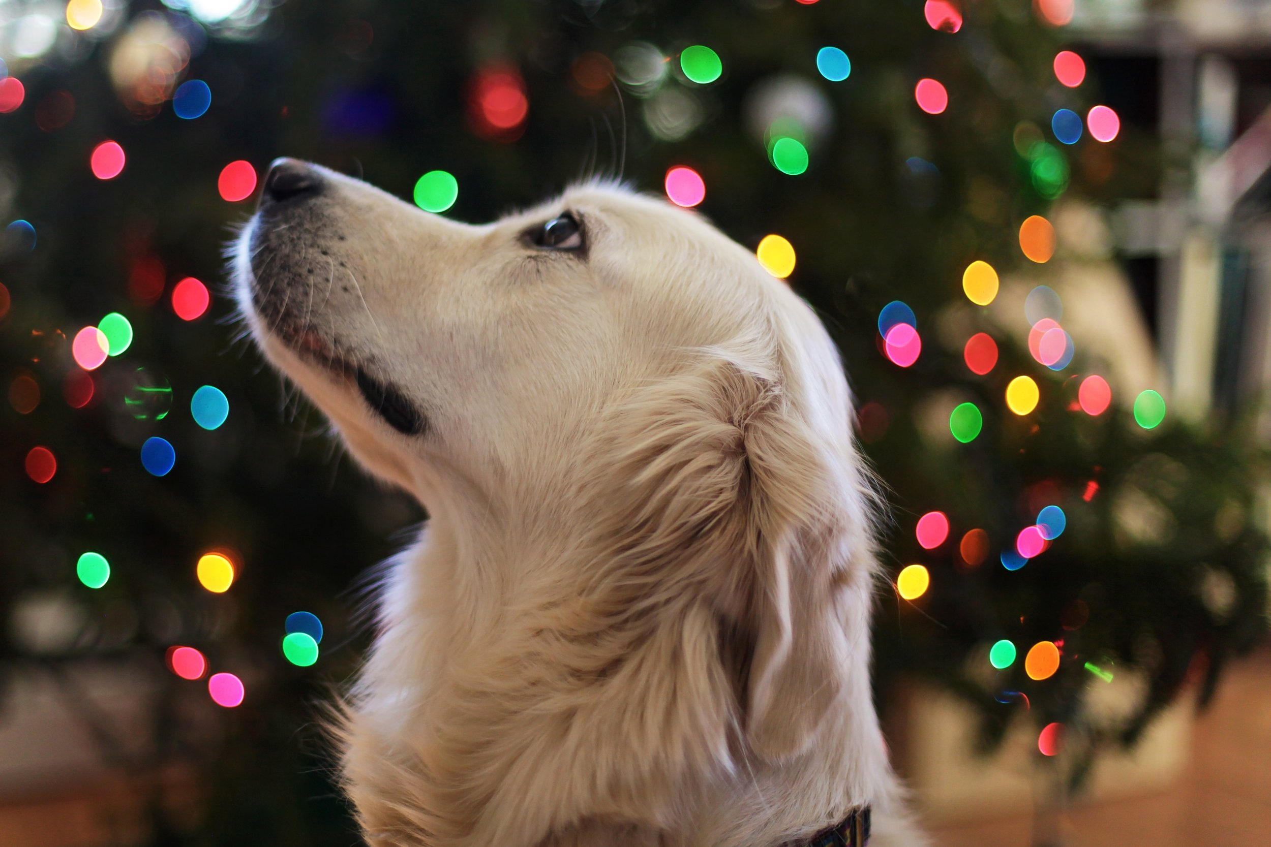 Lovely use of a holiday-themed background to make the picture beautiful and holiday-esque. The dog's face is soft and if I had to guess, something she likes is being help up and to the left.