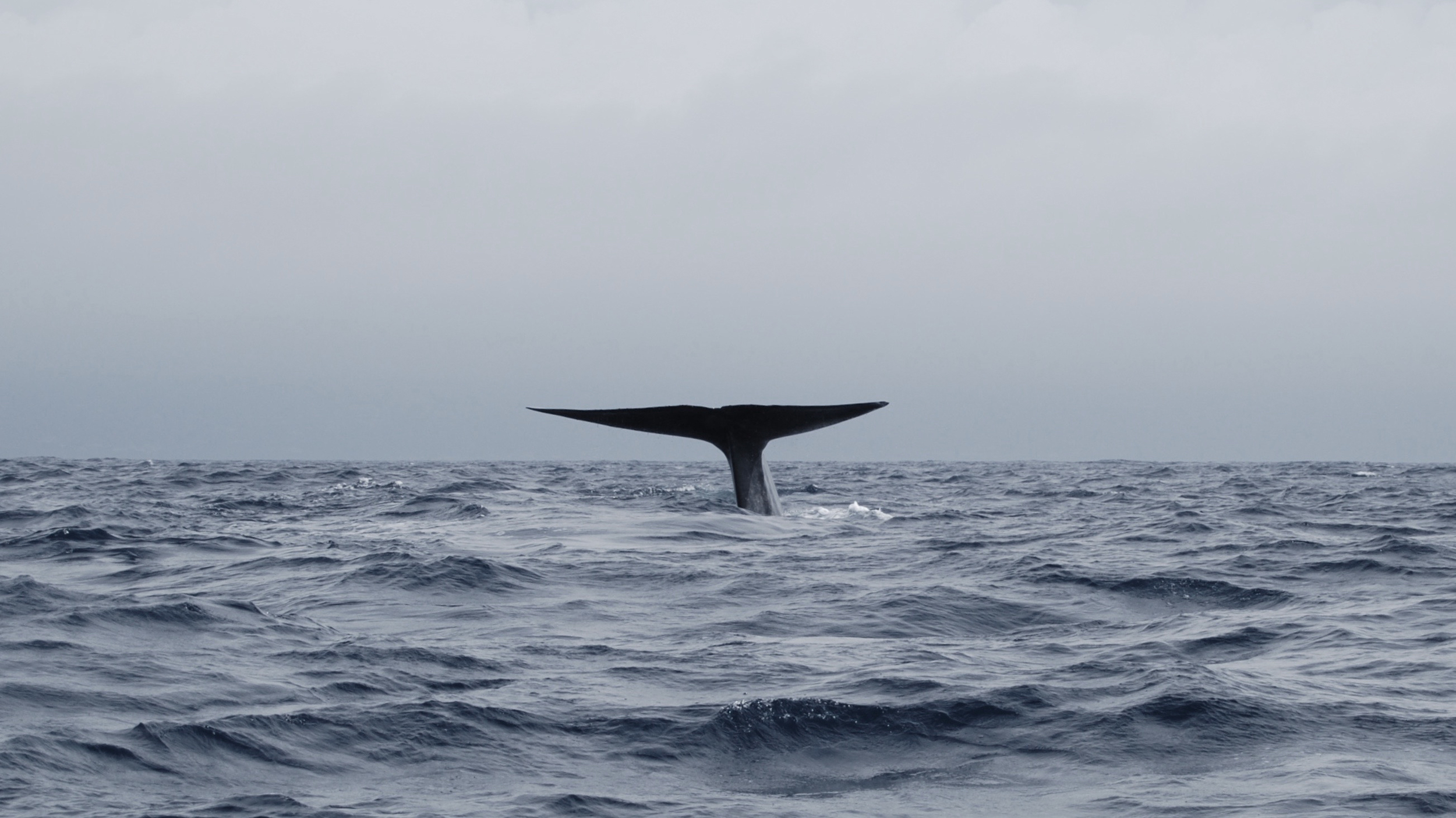 Diving blue whale off Pico, The Azores: Photo by Philip Hoare
