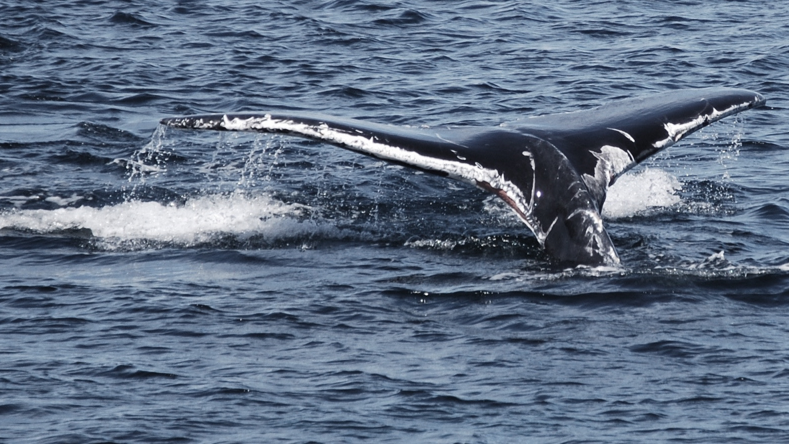 Humpback whale newly wounded by entanglement with fishing gear, Cape Cod, April 2016, Photo by Philip Hoare