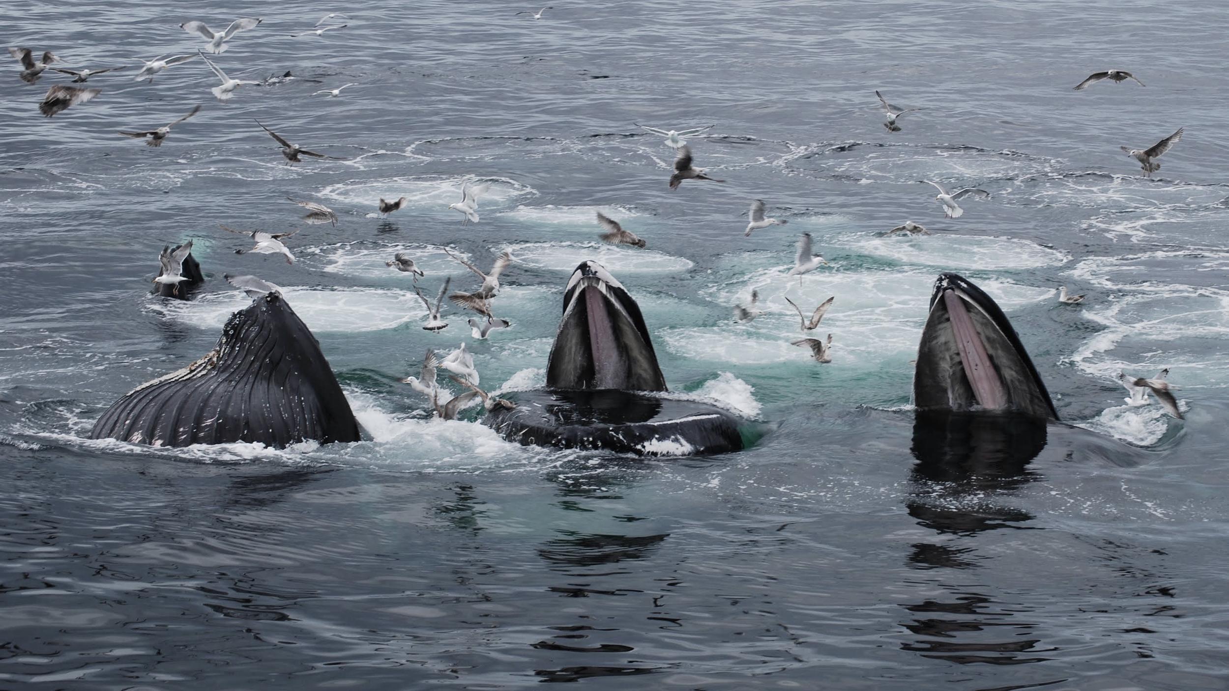 Humpbacks co-operatively feeding, Cape Cod: Photo by Philip Hoare
