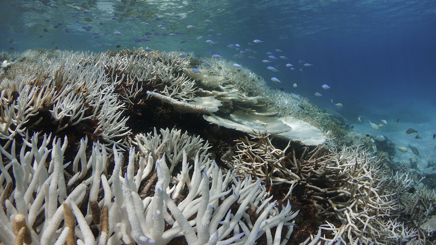 A bleached reef. Photo by The Ocean Agency / XL Catlin Seaview Survey