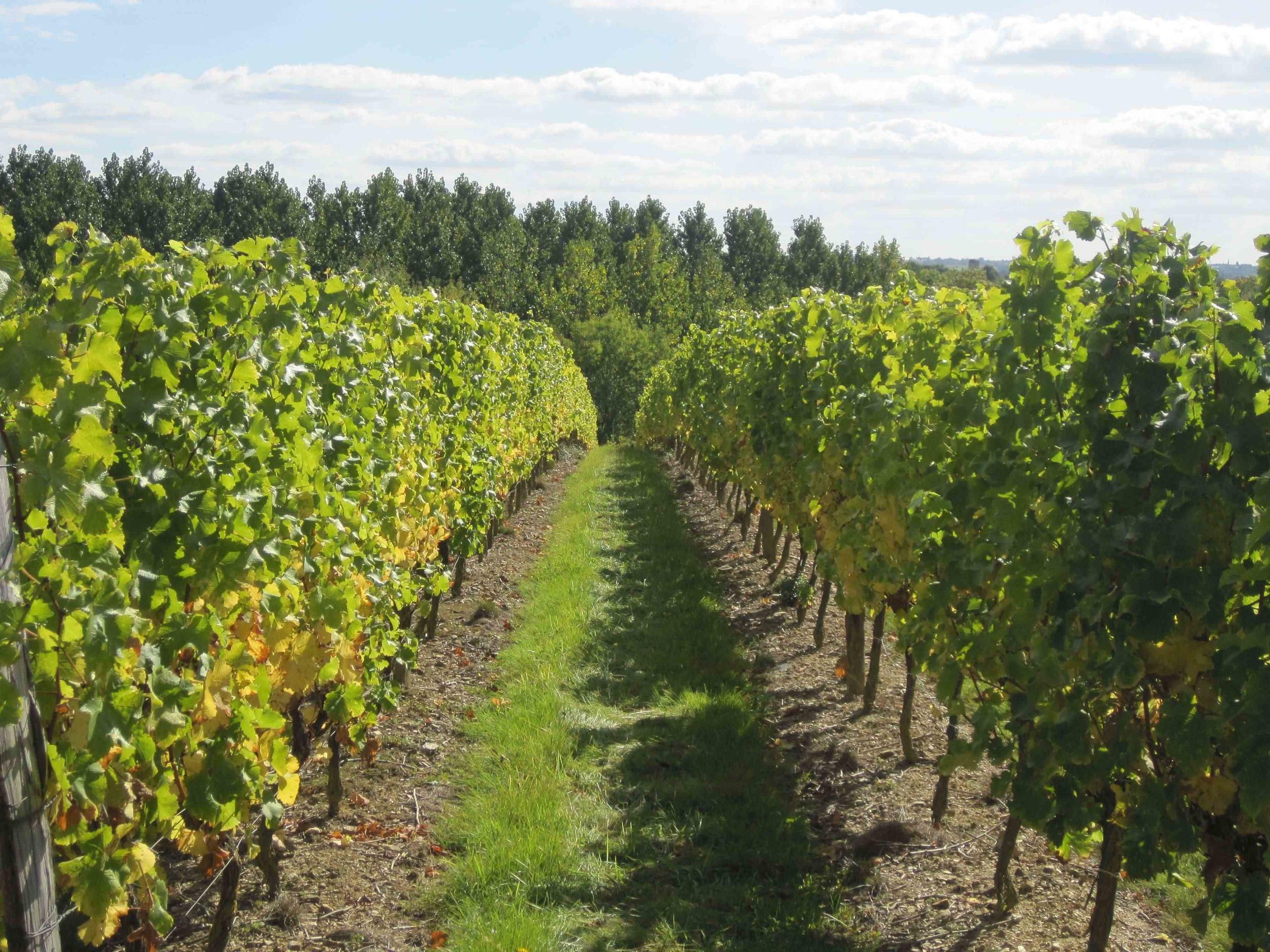 Le Pin Vineyard
