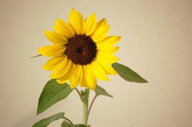 sunflower-1223777-639x424.jpg