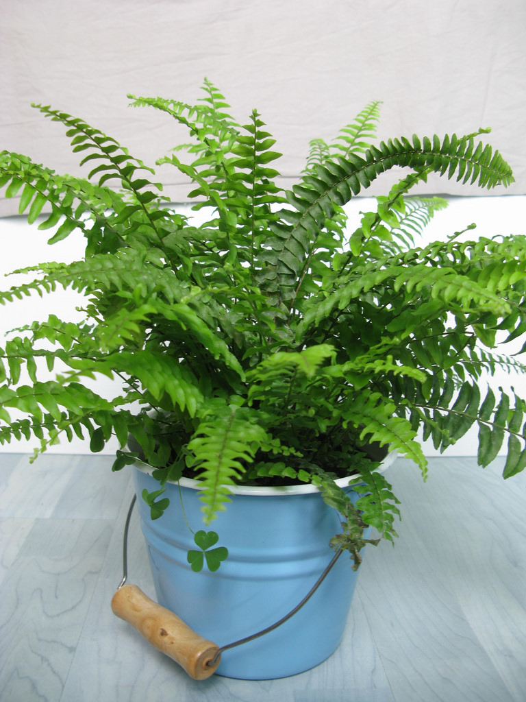 boston fern.jpg