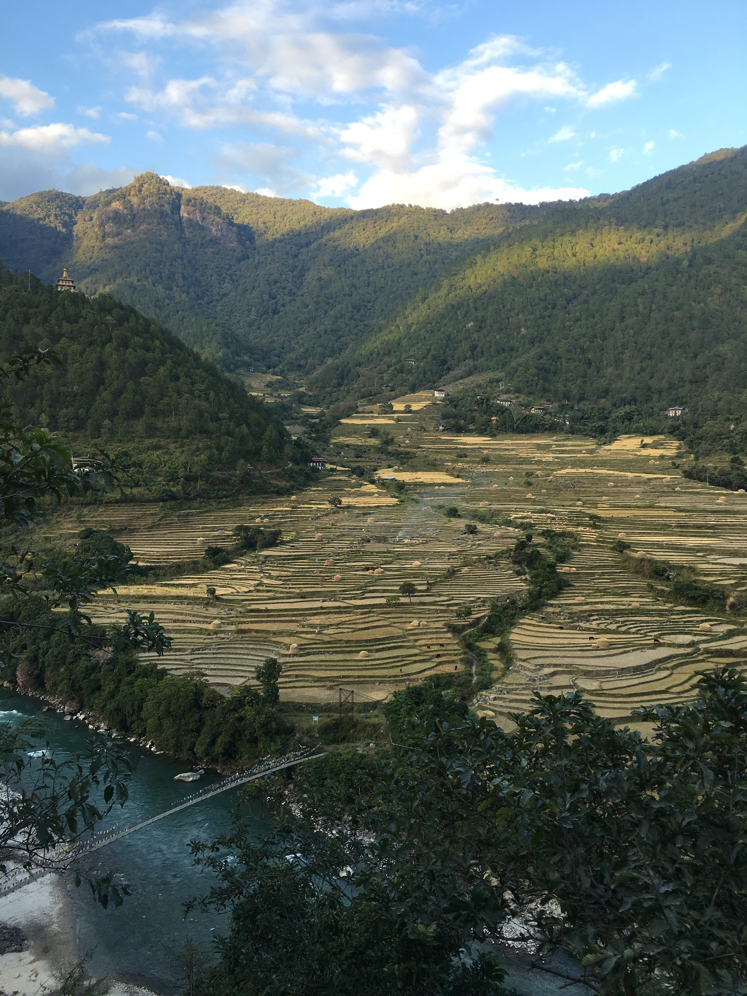 Rice harvesting in Punakha Valley