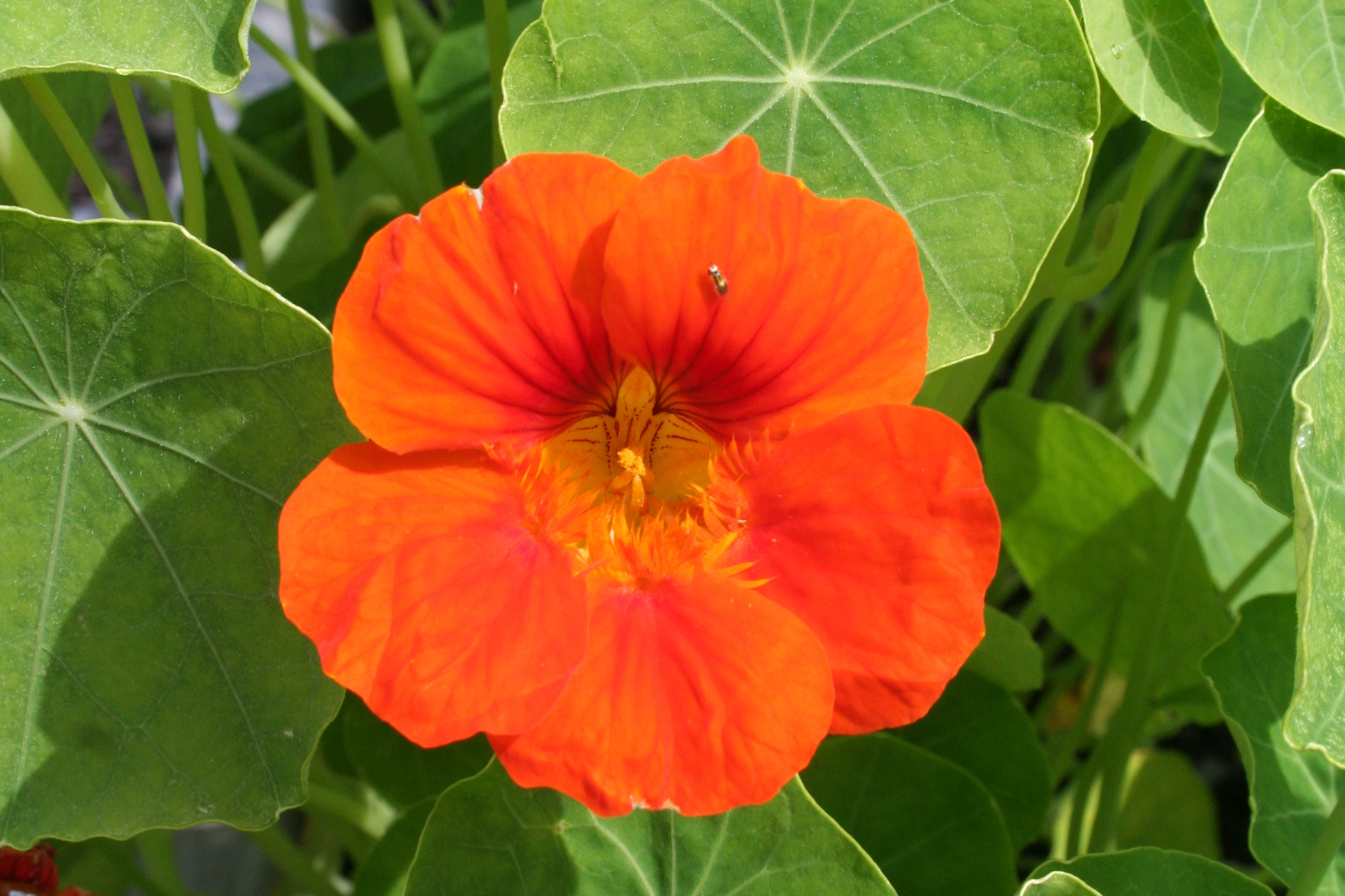 Sunset Green Home Garden Nasturtiums.JPG