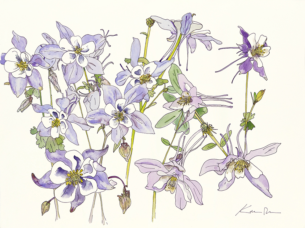Rocky Mountain Columbines