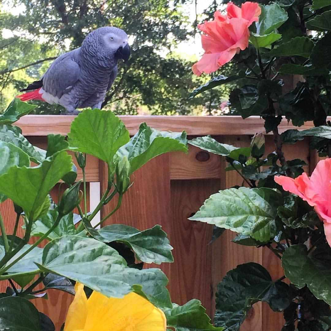 Shatzy in the #backyardjungle . #africangrey #parrot  (at East Windsor, Connecticut)