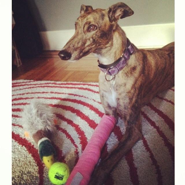 #ivy #adoptedgreyhound #brokentoe