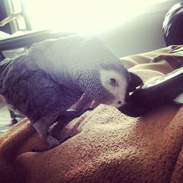 Shatzy on the couch playing with the remote. #africangrey #parrot