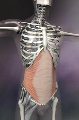 Transverse Abdominus.   (Image used with permission from Real Bodywork, Inc.)