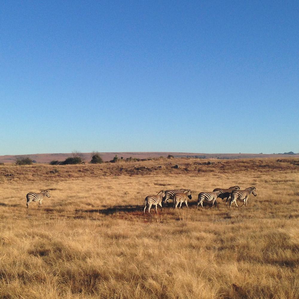 Zebra at te Millstream Farm.