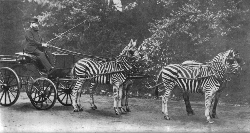 Rothschild with his famed zebra  carriage, which he drove to Buckingham Palace  to demonstrate the tame character of zebras to the public.
