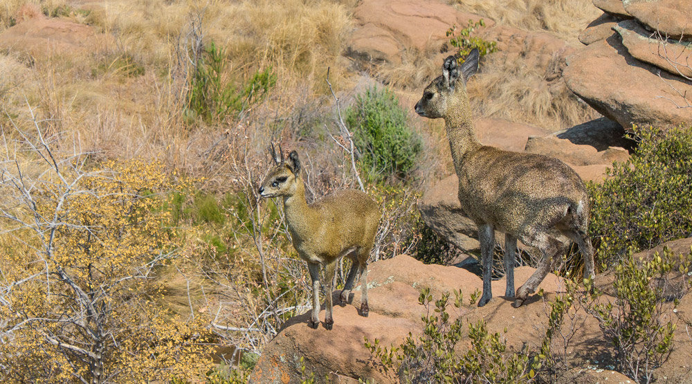 Klipspringer ram and ewe, Mountain Sanctuary Park, Magaliesberg.