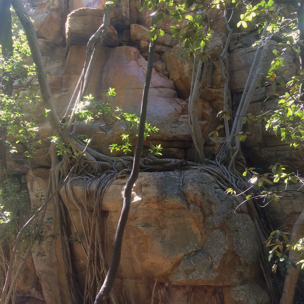 Vines at the base of one of the Cedarberg Kloof cliff faces. The kloof is a popular trad climbing spot.