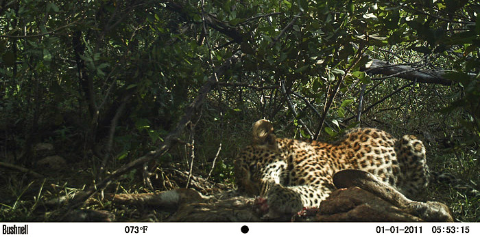 One of Brandy's teenage cubs, caught by a camera trap.Photo Credit: Africa Geographic