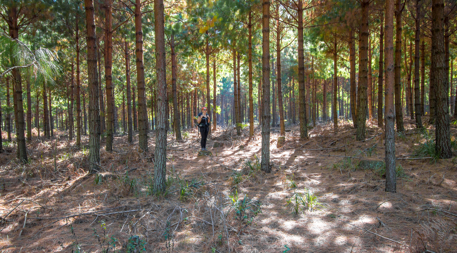 Plantation just outside of Florence Hill Hut – Day 2, Kaapsche Hoop Hiking Trail
