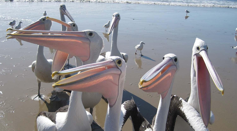Pelican Friends at Brooms Head