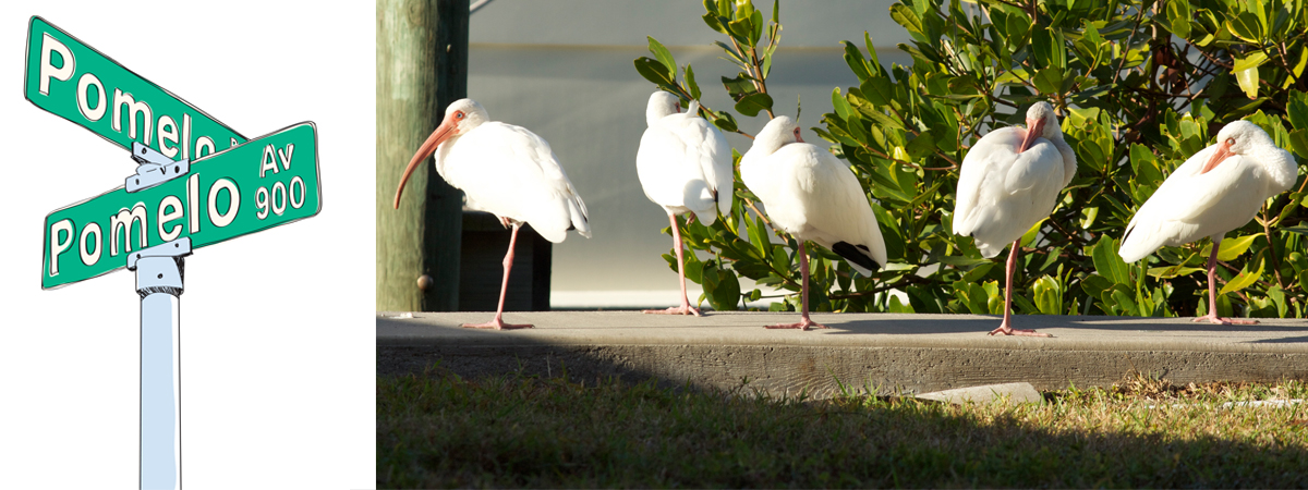 Pomelo & Pomelo Drawing - Photo of Ibises
