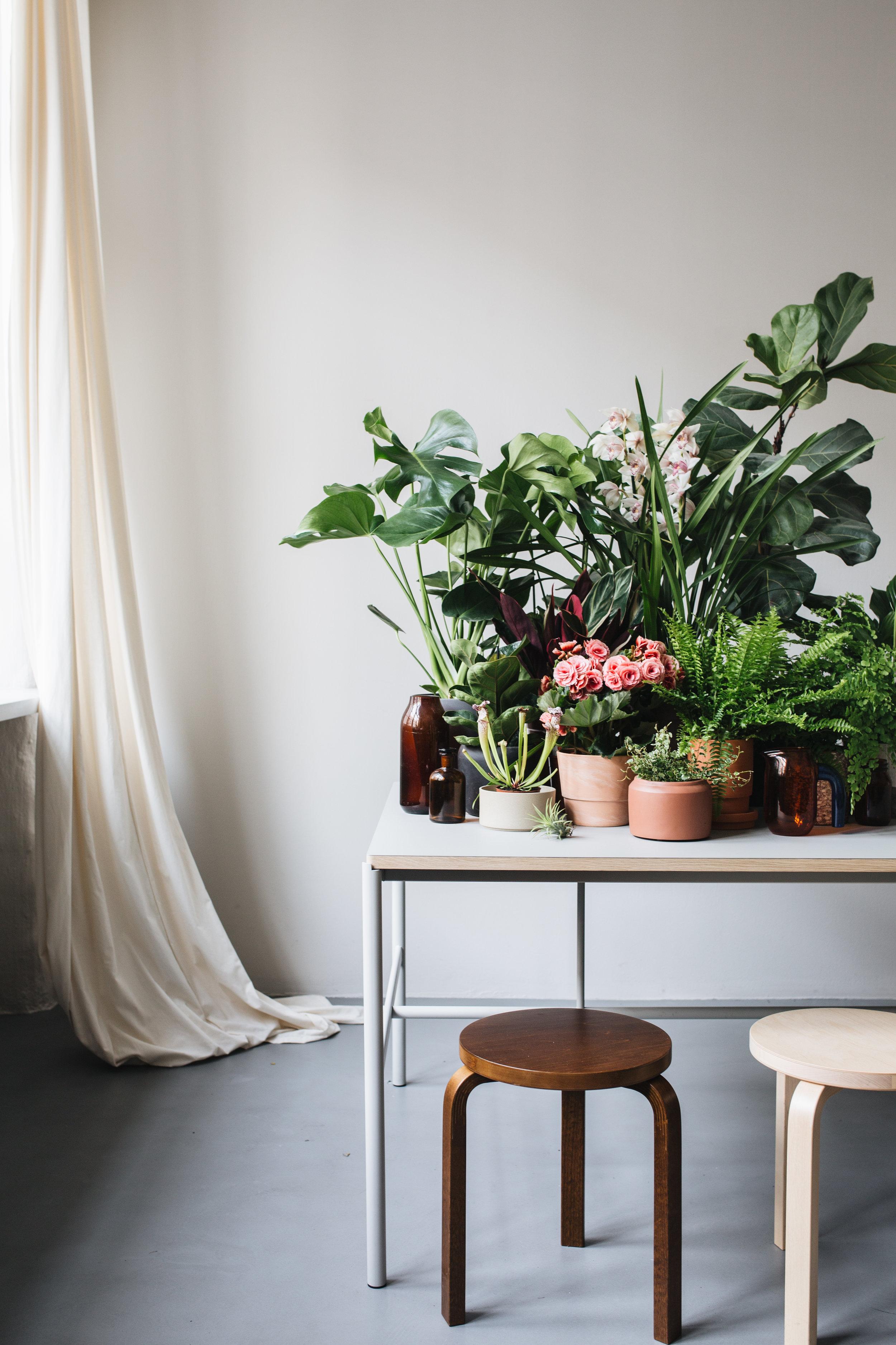 Zimmerpflanze des Monats 2019 Herz&Blut