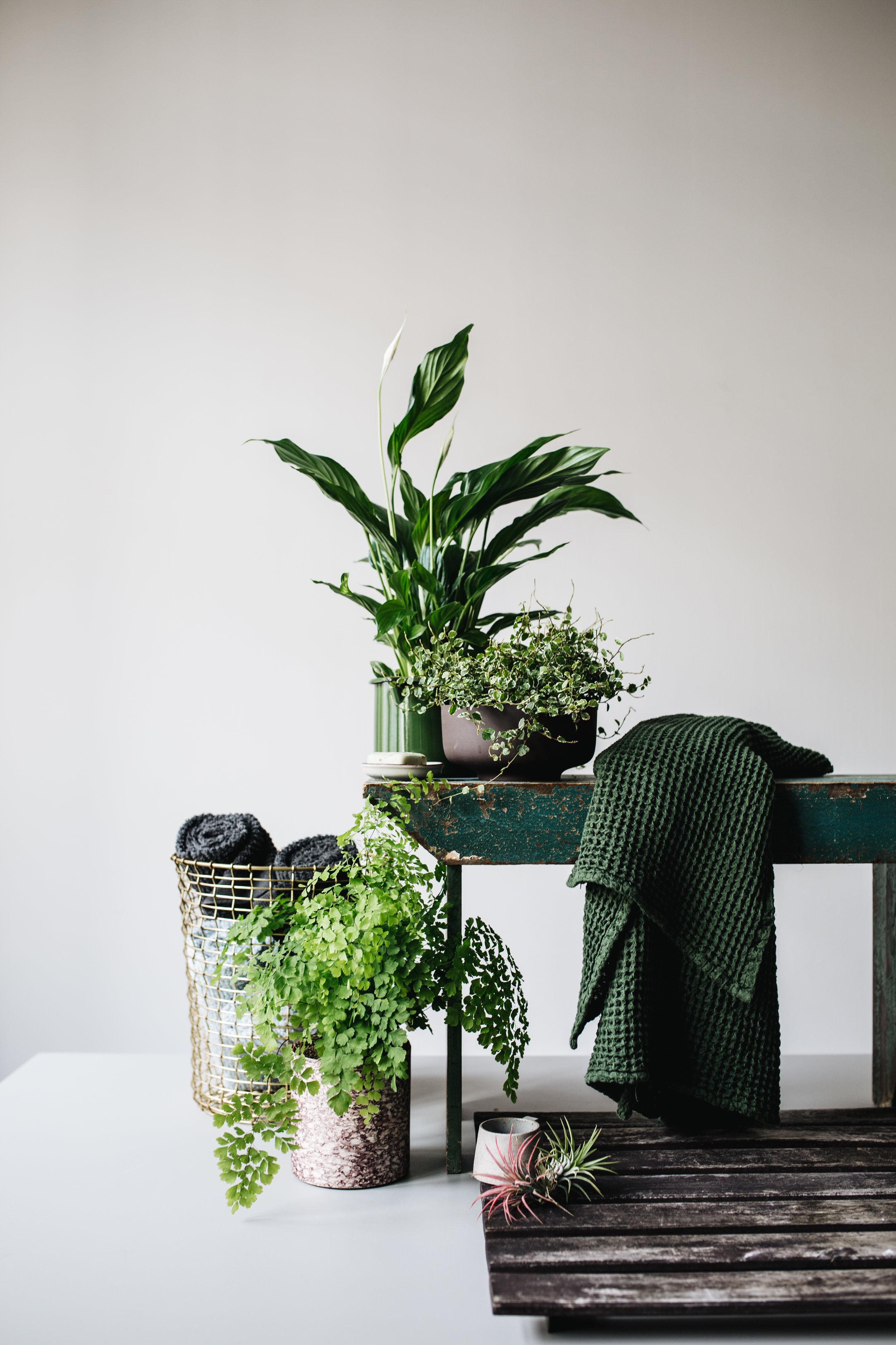Zimmerpflanze des Monats 2019: Mai Badezimmerpflanzen Herz&Blut