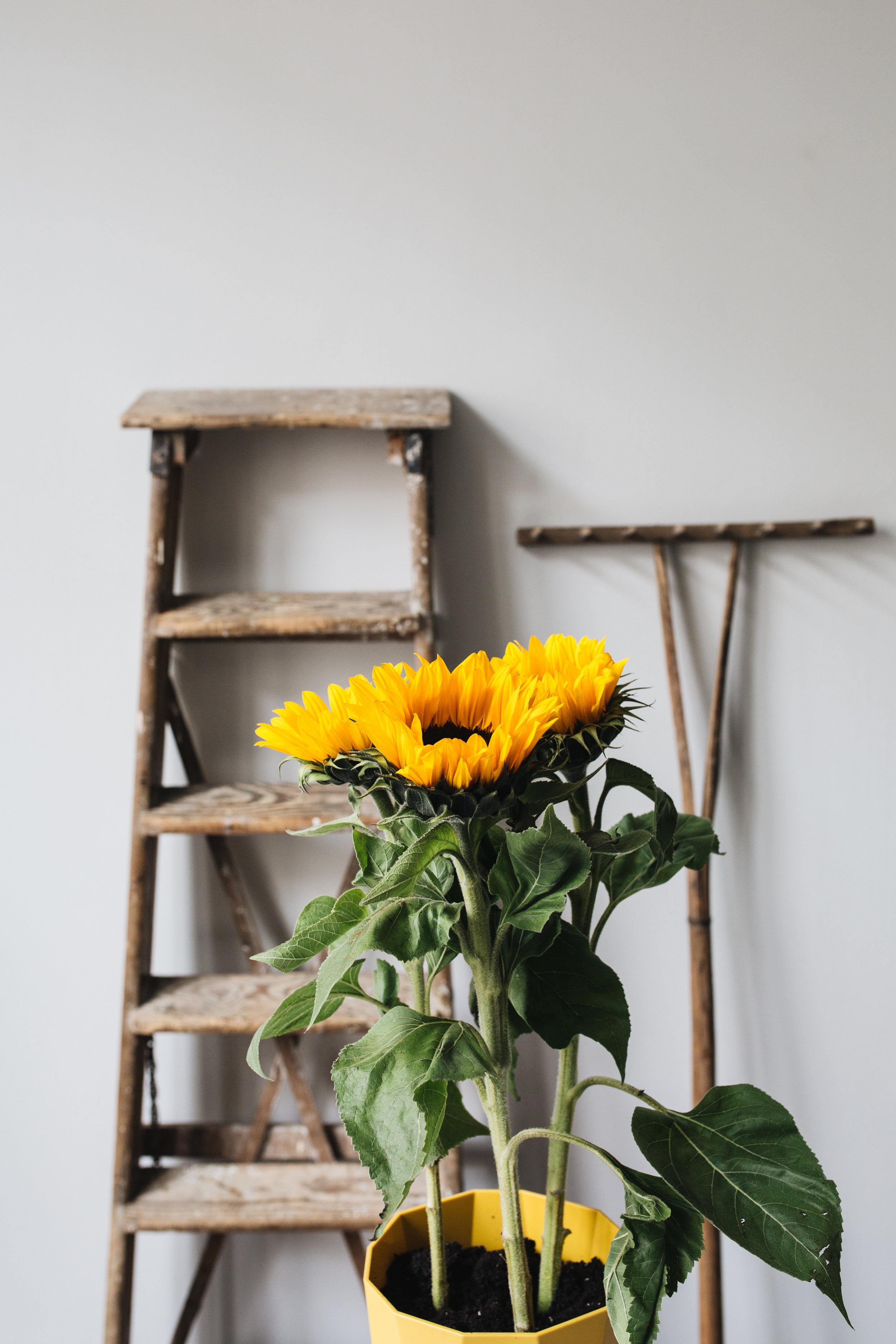 Zimmerpflanzen des Monats 2019: Juni Sonnenblume Herz&Blut