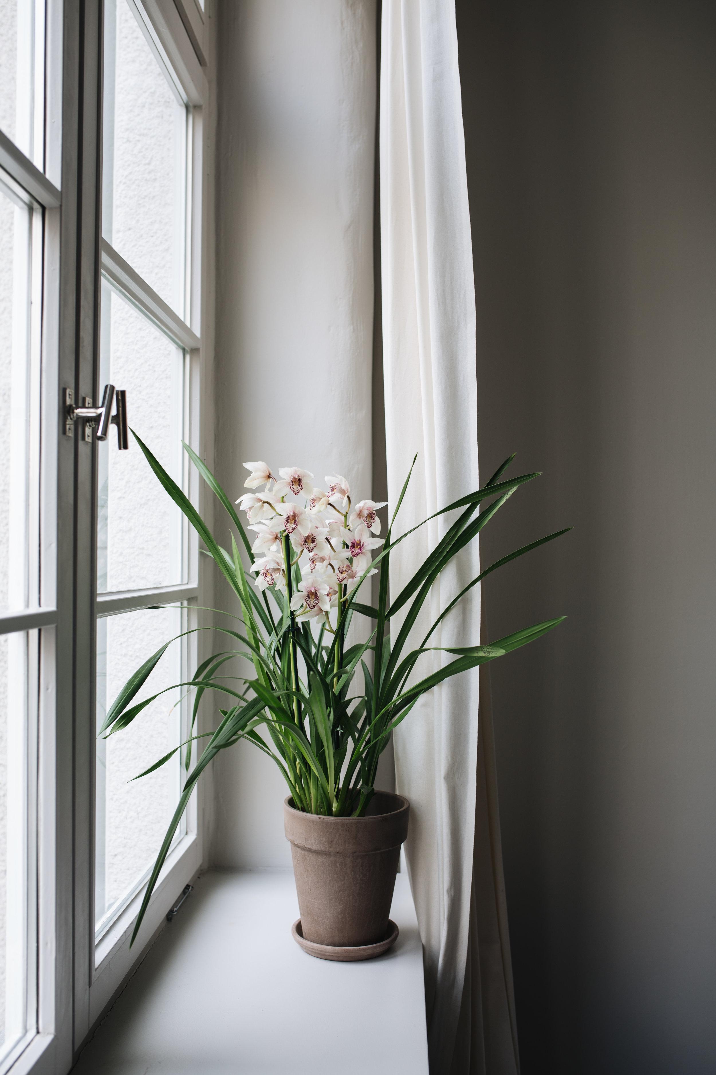 Zimmerpflanzen des Monats 2019: Cymbidie Herz&Blut